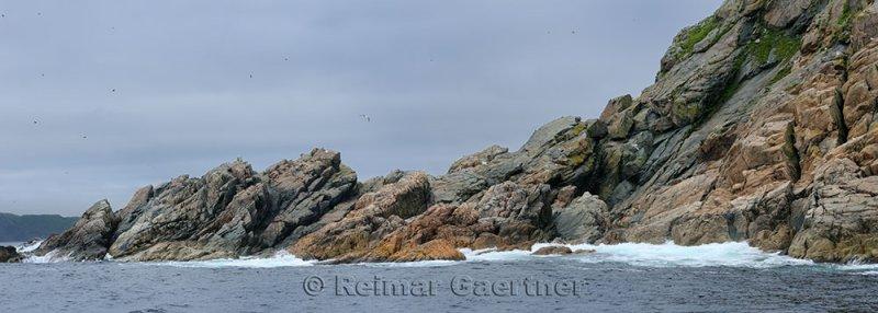 Panorama of seabirds on the rocky coast of Twillingate Island Newfoundland