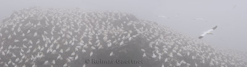 Colony of nesting Northern Gannets in fog at Cape St. Marys Ecological Reserve Newfoundland