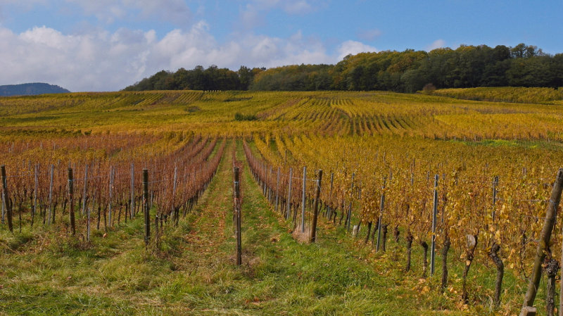 vineyard in autum