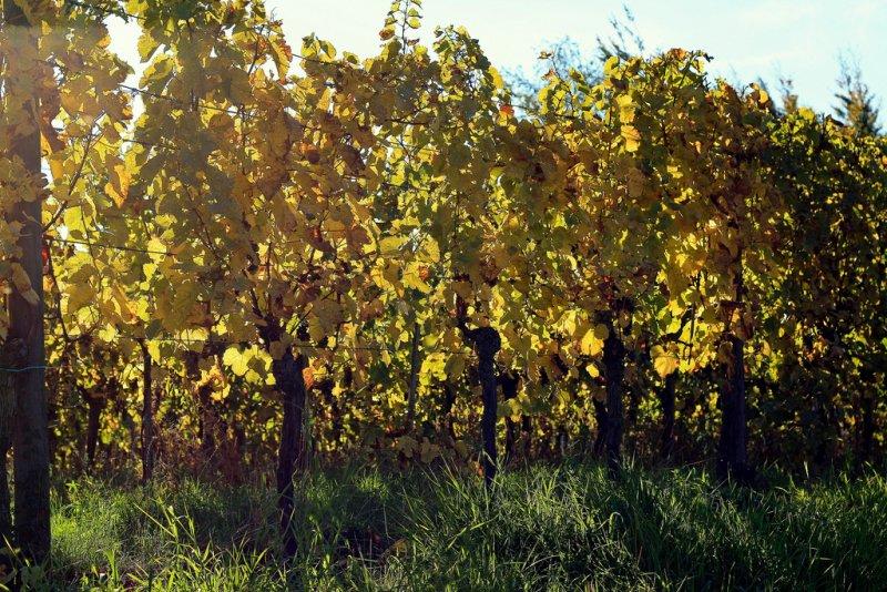 sunny vines in Mittelbergheim.