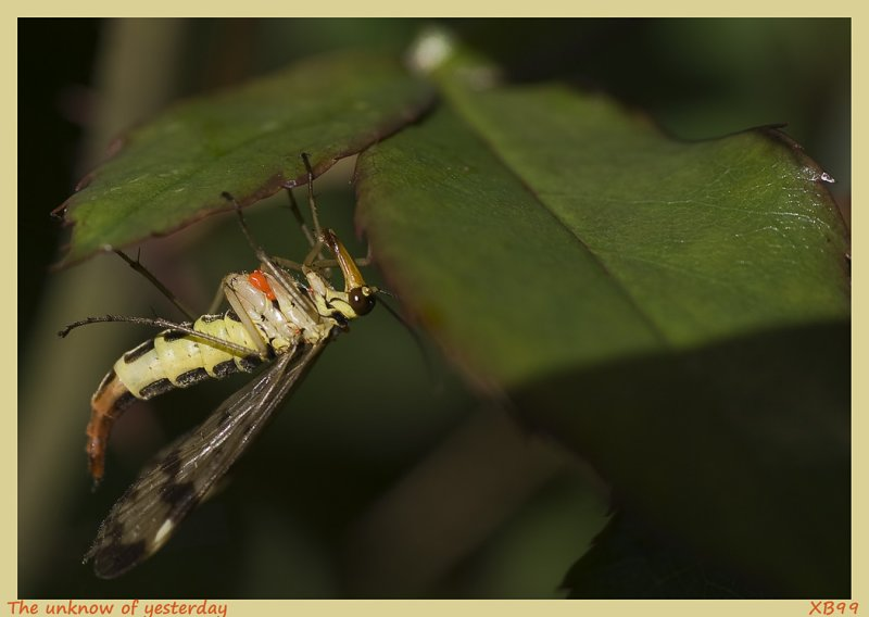 The unknow of yesterday,a Scorpion Fly