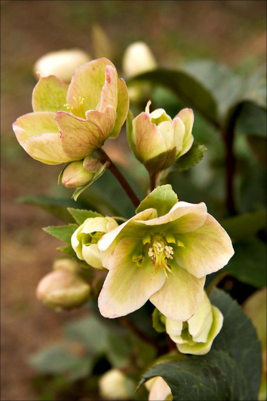 Hellebore IvoryPrince I love this plant!