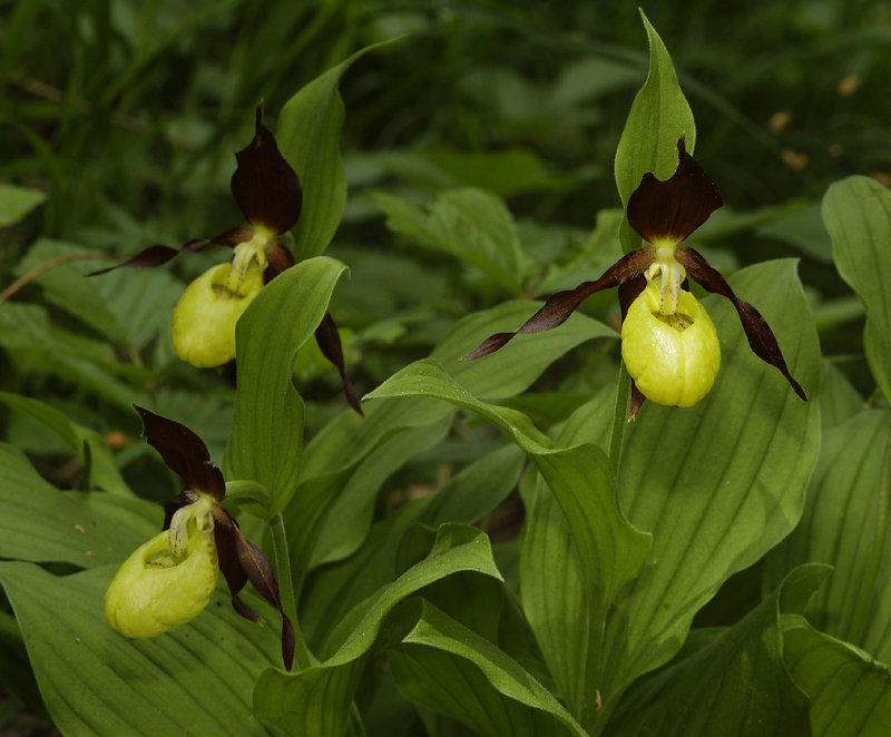 Cypripedium calceolus. Closer 3 flowers.