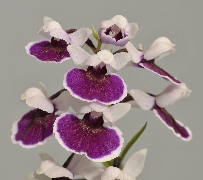 Ponerorchis graminifolia. 7