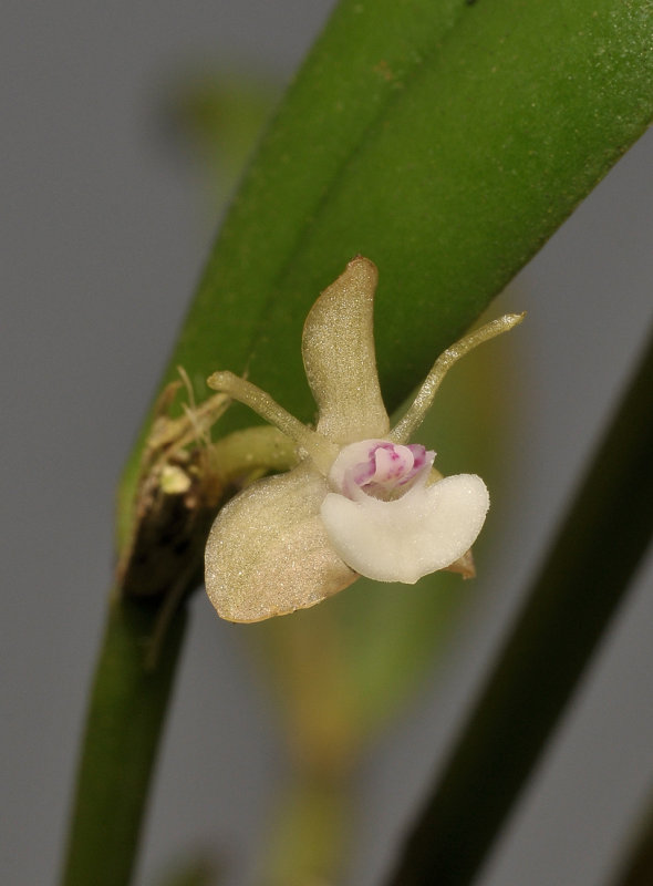 Dendrobium umbellatum. Close-up.