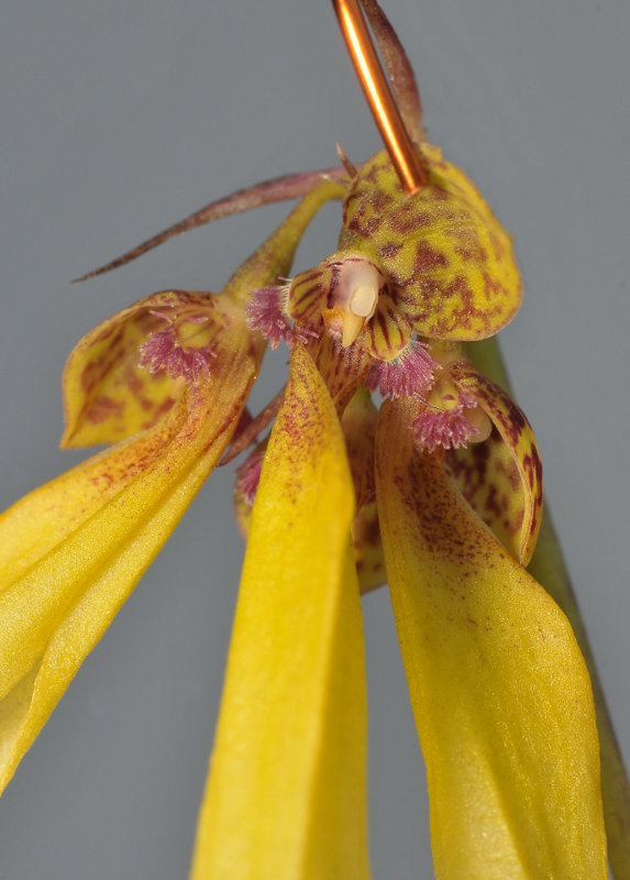 Bulbophyllum thiurum. Close-up.