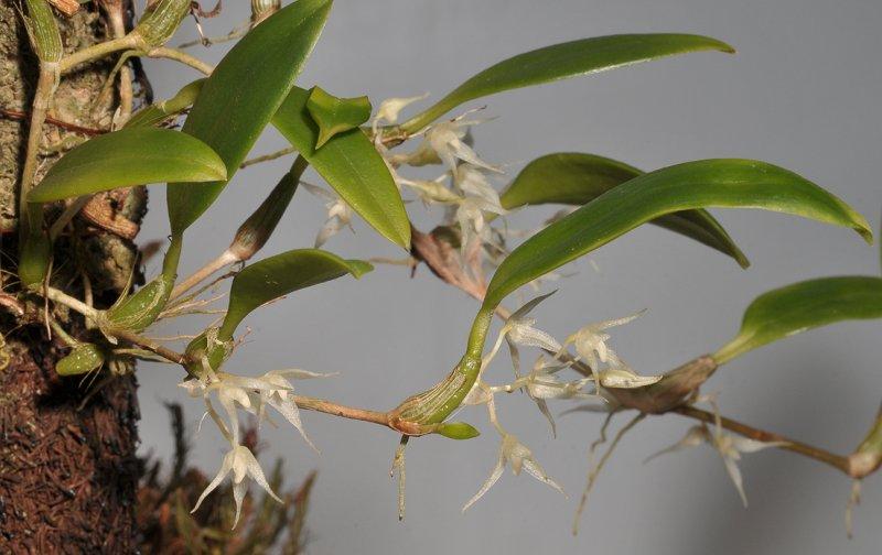 Bulbophyllum kaniense