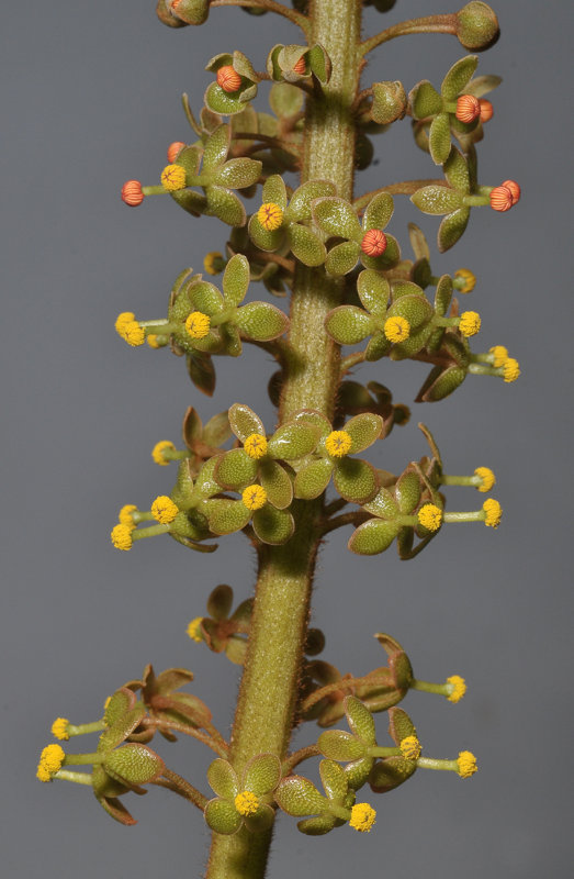 Nepenthes veitchii. Flowers.