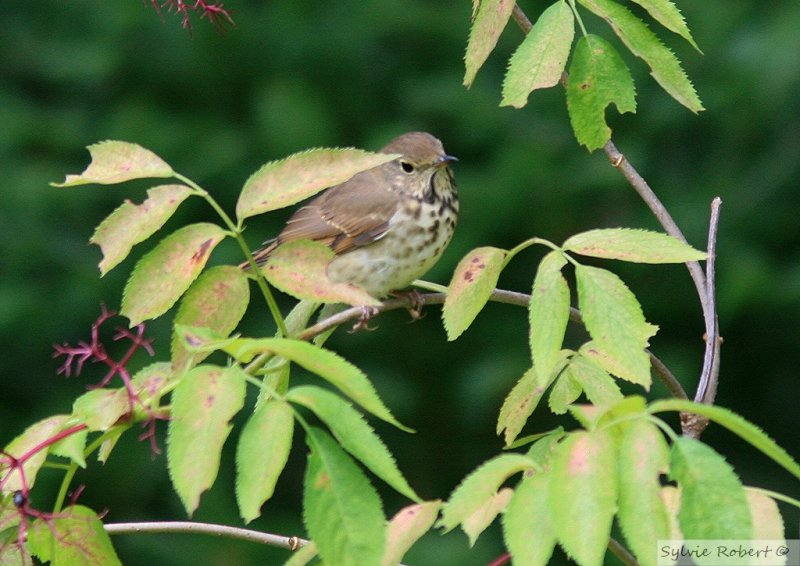 Grive solitaire<br>Hermit thrush<br>Dunany<br>18 septembre 2010
