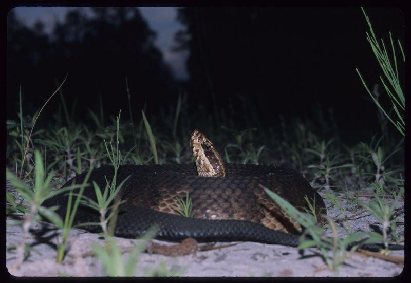 Florida Cottonmouth Snake (Agkistrodon piscivorus conanti)