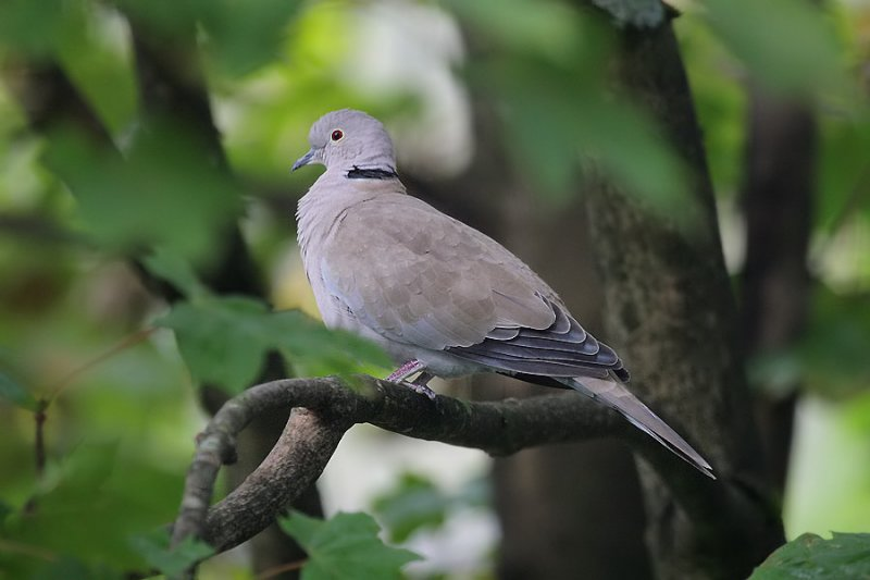 Türkentaube / Eurasian Collared Dove