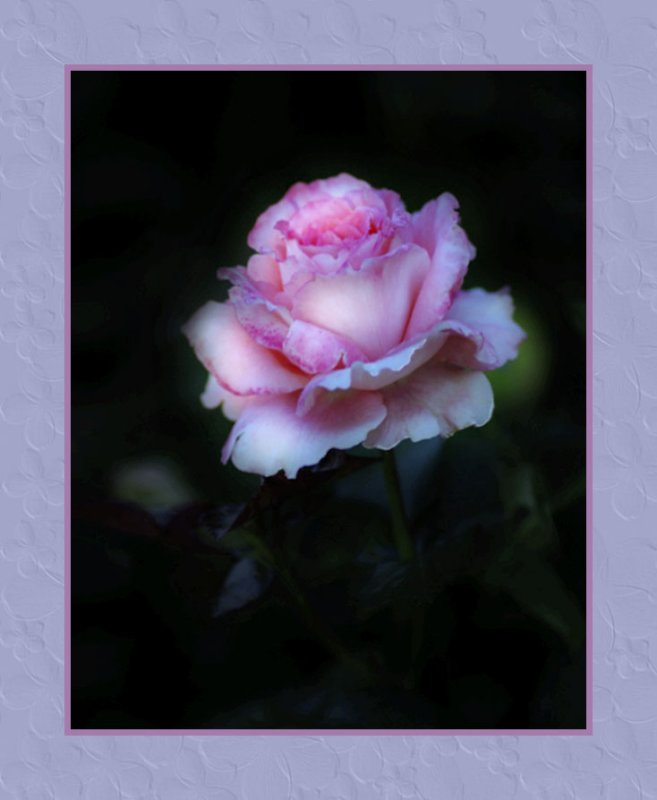 A Pink Rose Version 2
