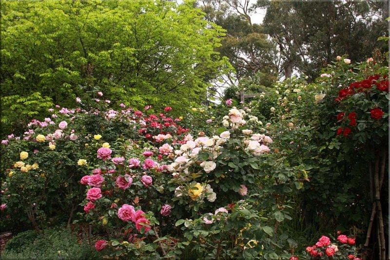 Rose garden in bloom 2