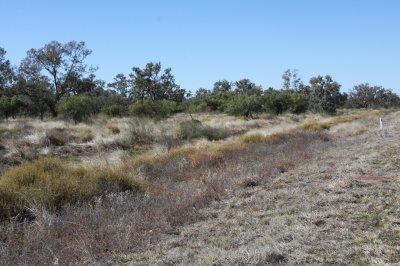 Father emu vanishing in the bush