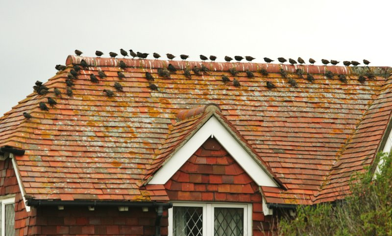 Starlings at rest
