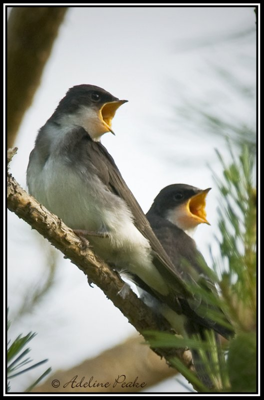 Hungry Tree Swallow Fledglings