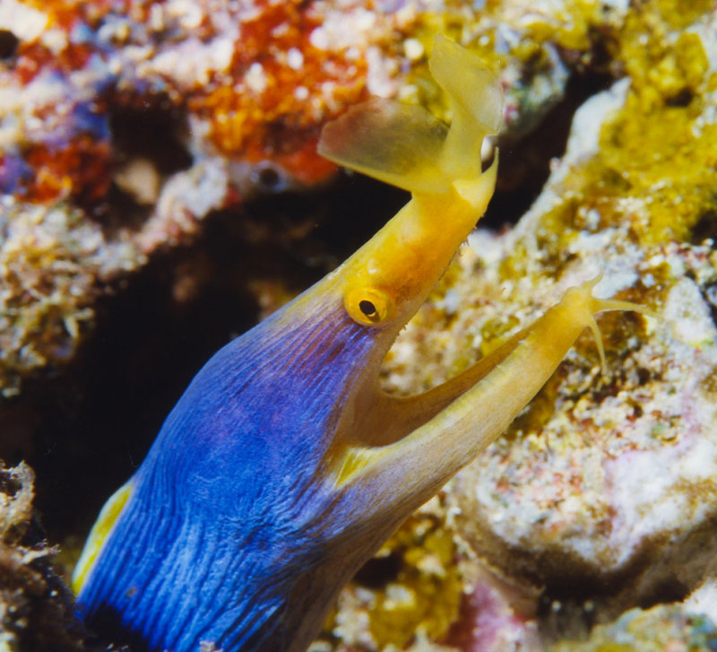 Blue-ribbon Eel