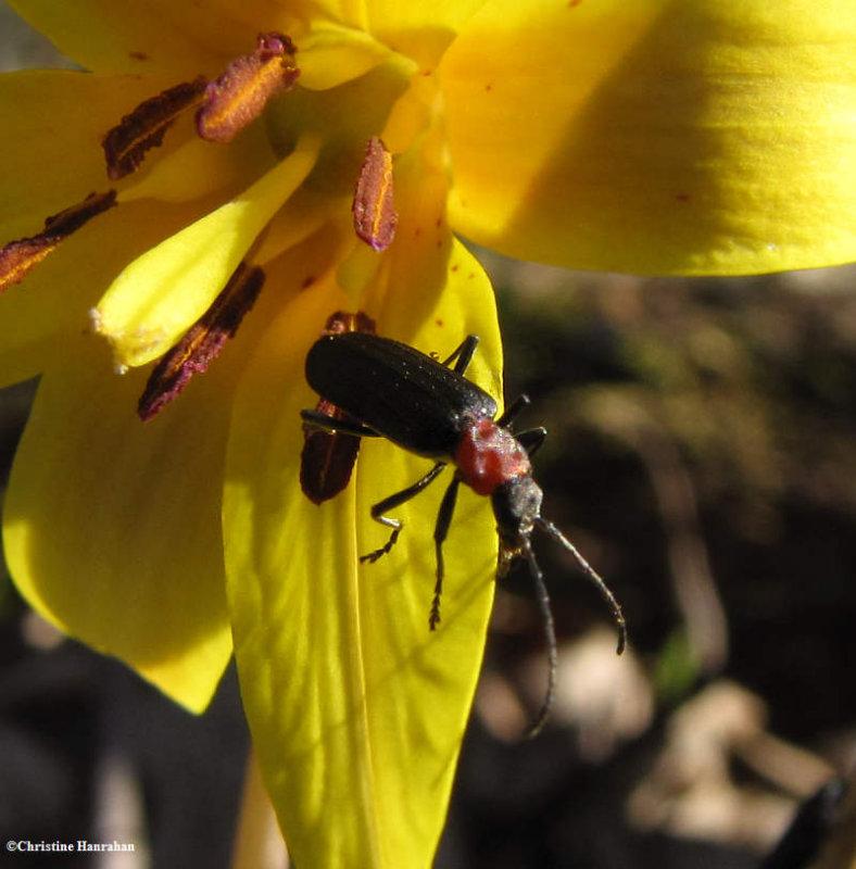False blister beetle (Oedemeridae sp.)