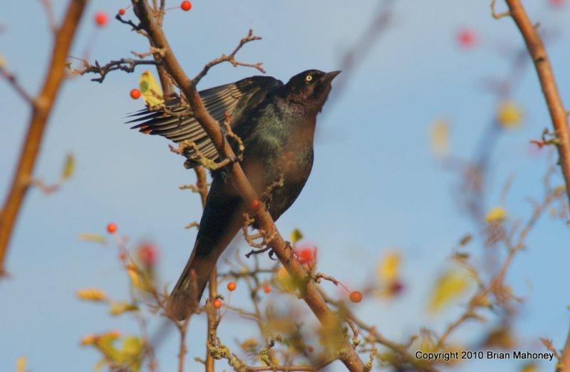 Leaves starlings 120.jpg