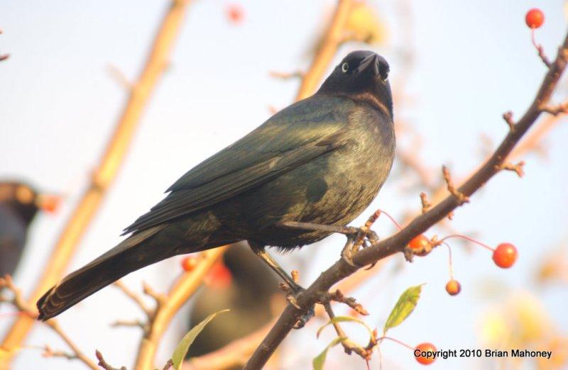 Leaves starlings 153.jpg