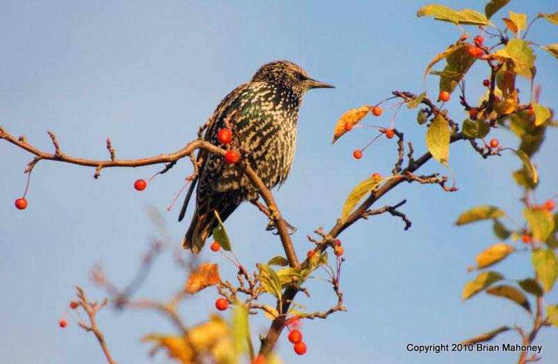 Leaves starlings 125.jpg