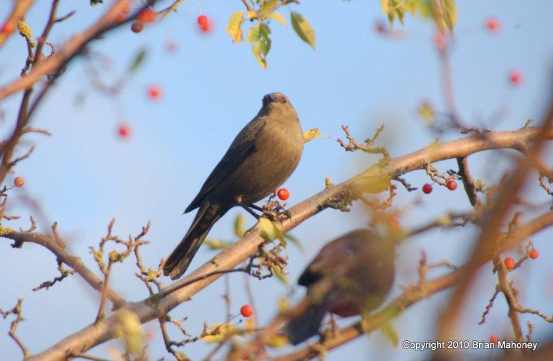 Leaves starlings 144.jpg