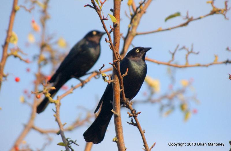 Leaves starlings 142.jpg
