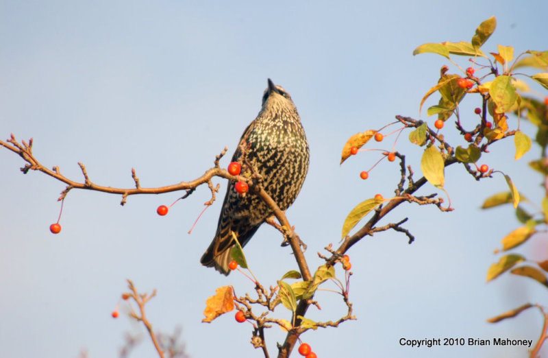 Leaves starlings 124.jpg