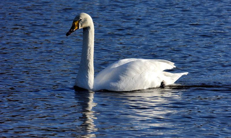 Swan: Peace at Last!