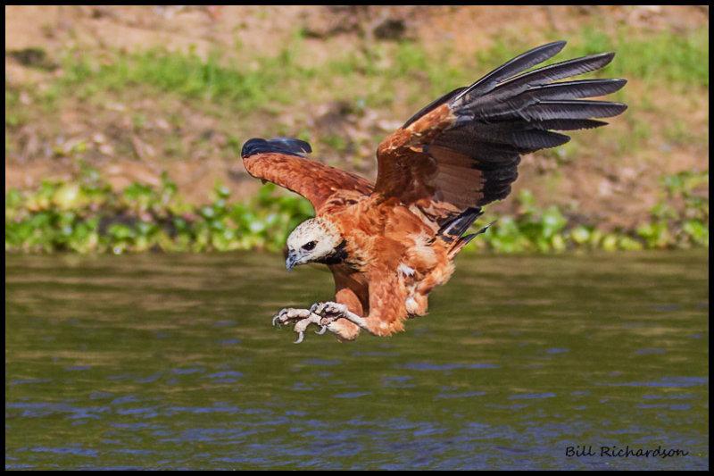 Black-collared Hawk.jpg