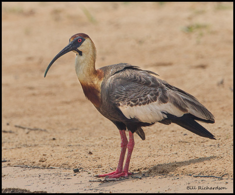 Buffed-Necked Ibis.jpg