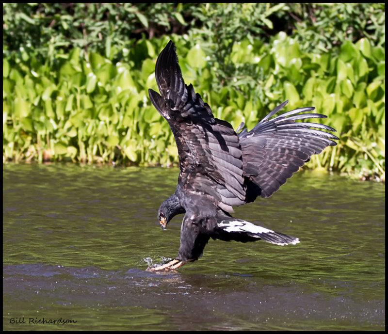 Common Black Hawk fishing.jpg