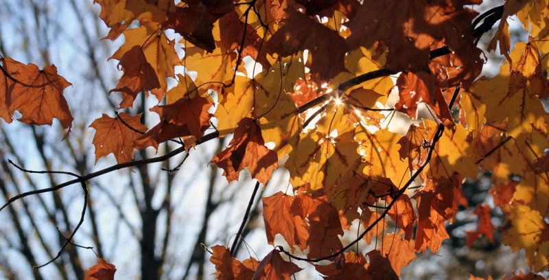 Sunlit Autumn Leaves