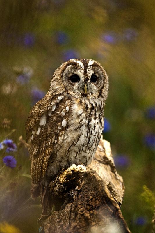 Great Owl.jpg