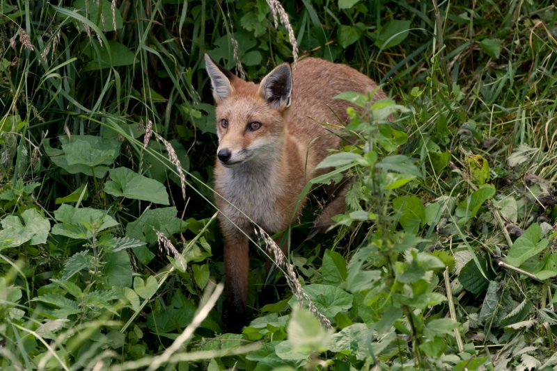 Red Fox Vulpes vulpes. Emerging from the undergrowth.JPG