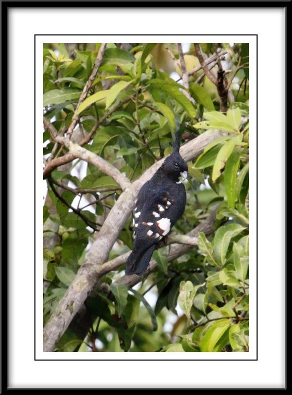 Black buzzard.jpg