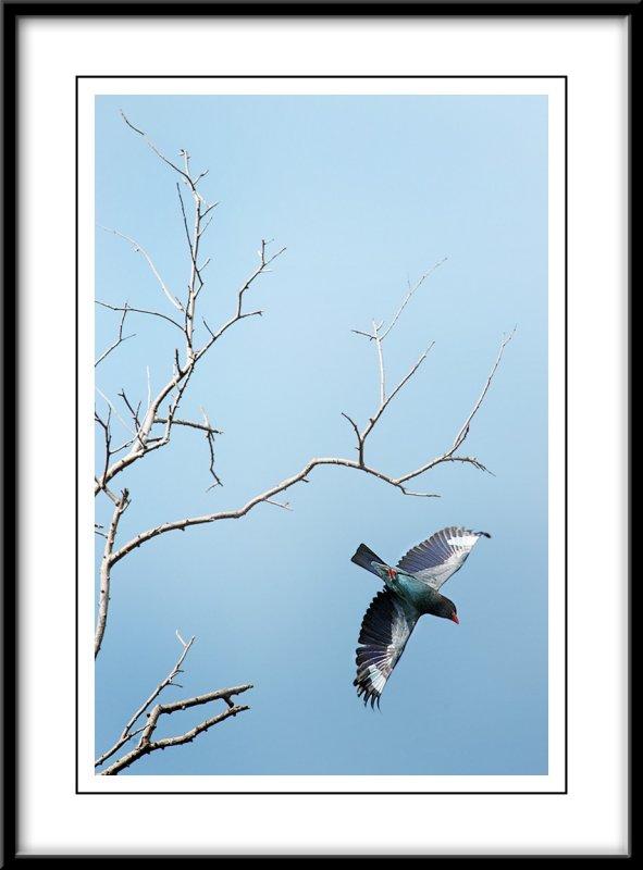 Dollar Bird take off.jpg