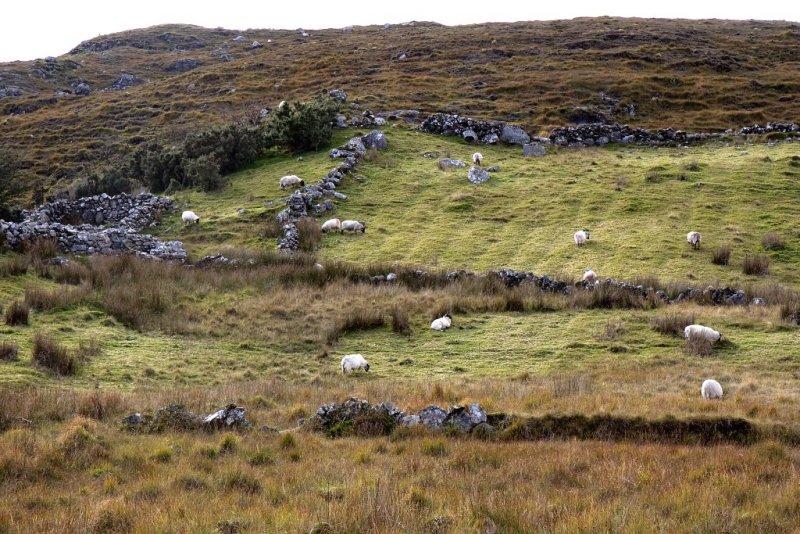 Sheep in the Connemara