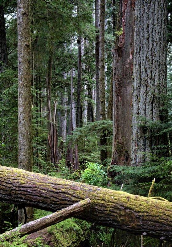 Giant douglas fir