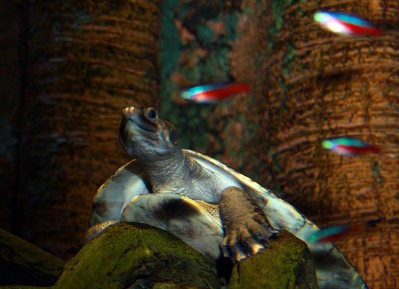 Turtle and Tetras.jpg