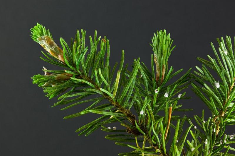 Conifer