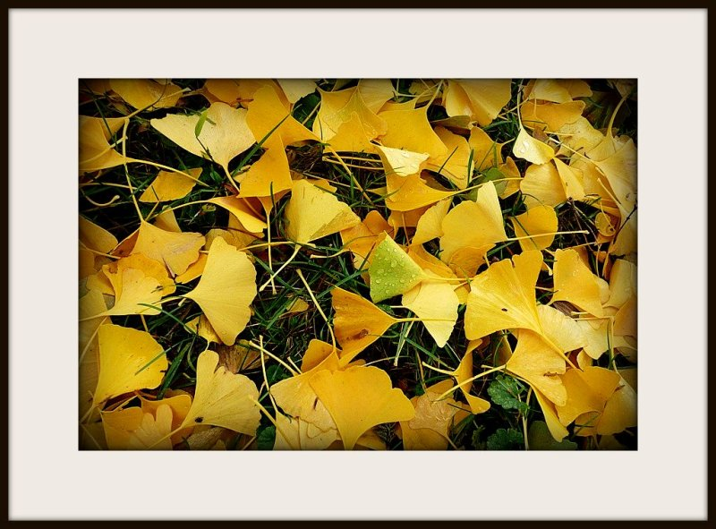 gingko leaves in autumn