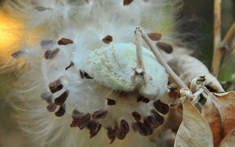 Milkweed Seeds - Foresta