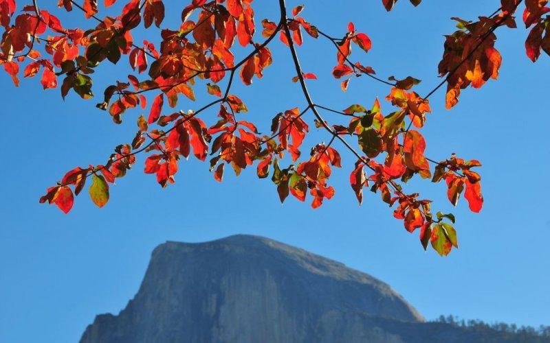 Dogwood Leaves Over Half Dome