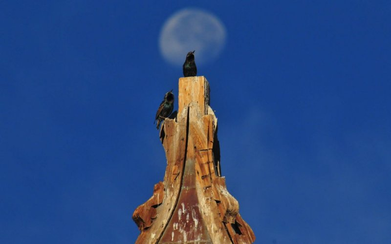 Starlings and Moon Atop a Church Steeple