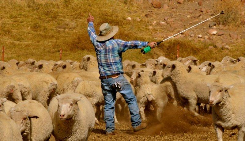 Basque Shepherd - the Boss