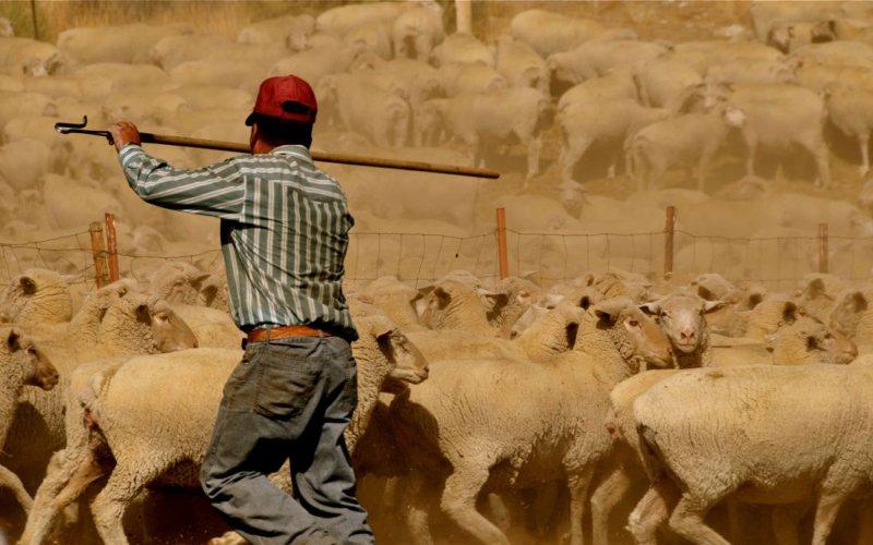 Peruvian Shepherd