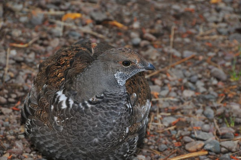 Grouse - Comes with Camouflage