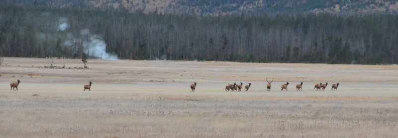 Bull Elk Directs His Harem, Yellowstone
