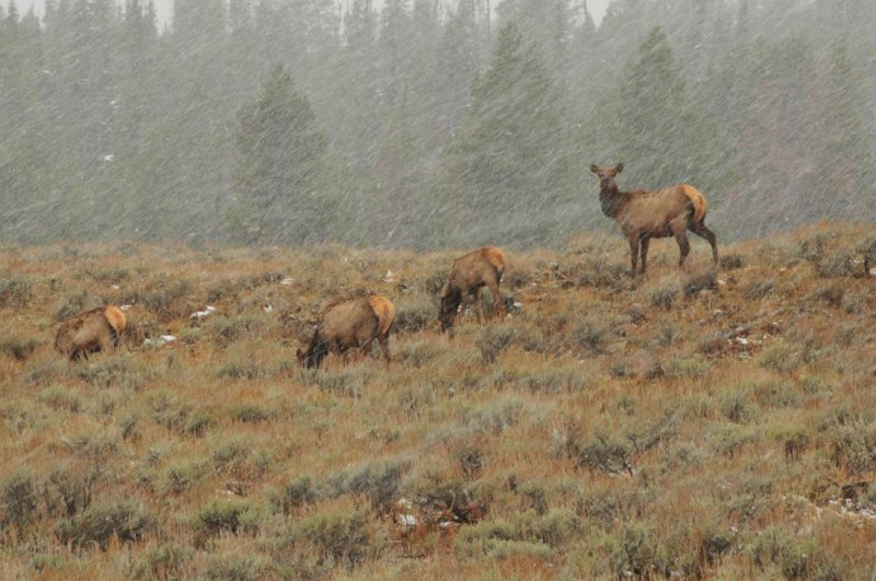 Elk in First Major Storm of the Season